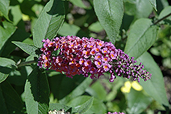 Bicolor Butterfly Bush (Buddleia x weyeriana 'Bicolor') at Martin's Home and Garden