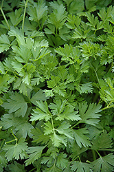 Italian Parsley (Petroselinum crispum 'var. neapolitanum') at Martin's Home & Garden