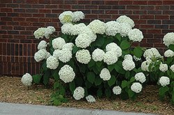 Incrediball® Hydrangea (Hydrangea arborescens 'Abetwo') at Martin's Home & Garden
