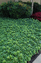 Green Sheen Japanese Spurge (Pachysandra terminalis 'Green Sheen') at Martin's Home & Garden