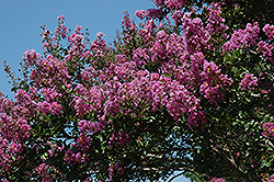 Catawba Crapemyrtle (Lagerstroemia indica 'Catawba') at Martin's Home & Garden