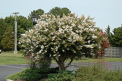 Acoma Crapemyrtle (Lagerstroemia 'Acoma') at Martin's Home & Garden