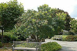 American Smoketree (Cotinus obovatus) at Martin's Home and Garden