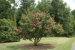 Tonto Crapemyrtle (Lagerstroemia 'Tonto') at Martin's Home and Garden