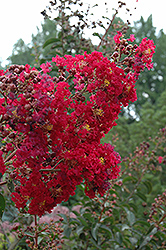 Arapaho Crapemyrtle (Lagerstroemia 'Arapaho') at Martin's Home and Garden