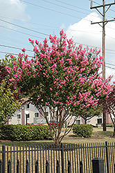 Sioux Crapemyrtle (Lagerstroemia 'Sioux') at Martin's Home and Garden