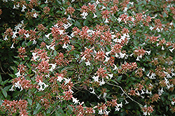 Glossy Abelia (Abelia x grandiflora) at Martin's Home and Garden