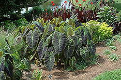 Illustris Elephant Ear (Colocasia esculenta 'Illustris') at Martin's Home and Garden