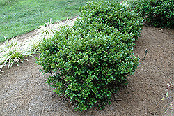Carissa Holly (Ilex cornuta 'Carissa') at Martin's Home & Garden