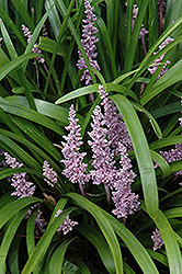 Lily Turf (Liriope muscari) at Martin's Home & Garden