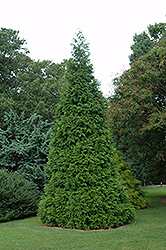 Green Giant Arborvitae (Thuja 'Green Giant') at Martin's Home and Garden