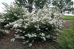 Early Bird™ White Crapemyrtle (Lagerstroemia 'JD900') at Martin's Home and Garden