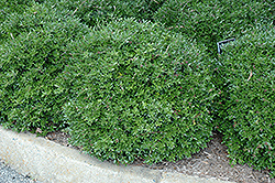 Bordeaux® Yaupon Holly (Ilex vomitoria 'Condeaux') at Martin's Home & Garden