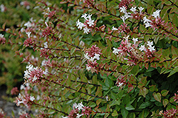 Rose Creek Abelia (Abelia x grandiflora 'Rose Creek') at Martin's Home & Garden