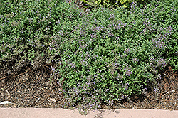 Junior Walker Catmint (Nepeta x faassenii 'Novanepjun') at Martin's Home and Garden