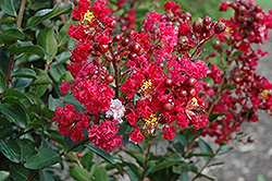 Red Rooster Crapemyrtle (Lagerstroemia indica 'PIILAG III') at Martin's Home & Garden