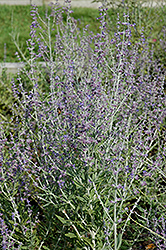 Taiga Russian Sage (Perovskia atriplicifolia 'Taiga') at Martin's Home and Garden