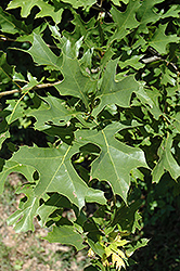 Nuttall's Oak (Quercus texana) at Martin's Home and Garden