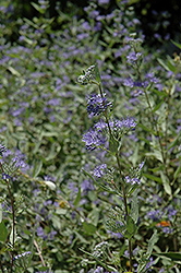 Bluebeard (Caryopteris x clandonensis) at Martin's Home and Garden