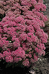 Mr. Goodbud Stonecrop (Sedum 'Mr. Goodbud') at Martin's Home and Garden