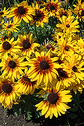 Denver Daisy Coneflower (Rudbeckia hirta 'Denver Daisy') at Martin's Home and Garden