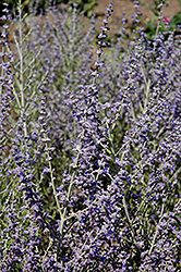 Peek-A-Blue Russian Sage (Perovskia atriplicifolia 'Peek-A-Blue') at Martin's Home & Garden