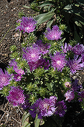 Peachie's Pick Aster (Stokesia laevis 'Peachie's Pick') at Martin's Home and Garden