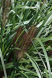 Red Head Fountain Grass (Pennisetum alopecuroides 'Red Head') at Martin's Home & Garden