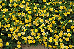 Landmark Yellow Lantana (Lantana camara 'Landmark Yellow') at Martin's Home and Garden