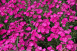 Bouquet Purple Pinks (Dianthus 'Bouquet Purple') at Martin's Home and Garden