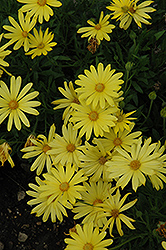 Voltage™ Yellow African Daisy (Osteospermum 'Voltage Yellow') at Martin's Home and Garden