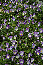 Halo Lilac Pansy (Viola cornuta 'Halo Lilac') at Martin's Home and Garden