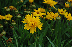 Sun Up Tickseed (Coreopsis grandiflora 'Sun Up') at Martin's Home and Garden
