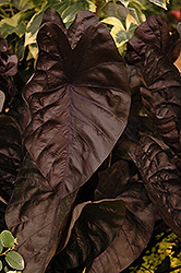 Puckered Up Elephant Ear (Colocasia esculenta 'Puckered Up') at Martin's Home & Garden