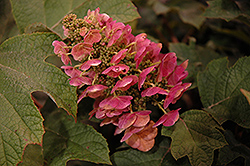Ruby Slippers Hydrangea (Hydrangea quercifolia 'Ruby Slippers') at Martin's Home and Garden