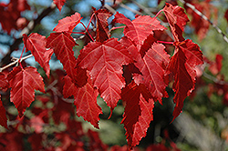 Amur Maple (Acer ginnala) at Martin's Home and Garden