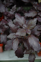 Red Rubin Basil (Ocimum basilicum 'Red Rubin') at Martin's Home & Garden