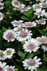 3D Silver African Daisy (Osteospermum '3D Silver') at Martin's Home and Garden