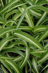 Variegated Spider Plant (Chlorophytum comosum 'Variegatum') at Martin's Home and Garden