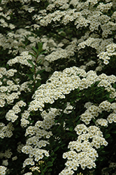 Snowmound Spirea (Spiraea nipponica 'Snowmound') at Martin's Home & Garden