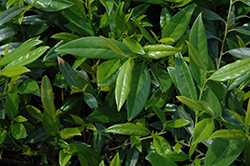 Zabel's Cherry Laurel (Prunus laurocerasus 'Zabeliana') at Martin's Home and Garden
