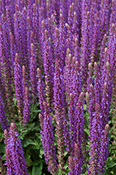 East Friesland Sage (Salvia nemorosa 'East Friesland') at Martin's Home and Garden