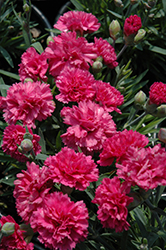 Early Bird™ Sherbet Pinks (Dianthus 'Wp08 Nik03') at Martin's Home and Garden