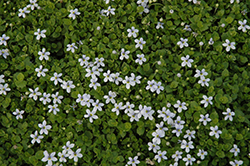 Blue Star Creeper (Isotoma fluviatilis) at Martin's Home & Garden