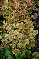 Solar Eclipse Foamy Bells (Heucherella 'Solar Eclipse') at Martin's Home and Garden