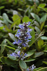 Blueberry Muffin Bugleweed (Ajuga reptans 'Blueberry Muffin') at Martin's Home and Garden