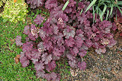 Sugar Berry Coral Bells (Heuchera 'Sugar Berry') at Martin's Home and Garden