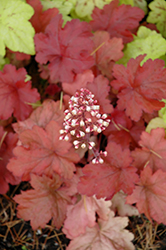 Fire Alarm Coral Bells (Heuchera 'Fire Alarm') at Martin's Home & Garden
