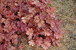 Mahogany Coral Bells (Heuchera 'Mahogany') at Martin's Home and Garden