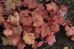 Southern Comfort Coral Bells (Heuchera 'Southern Comfort') at Martin's Home and Garden